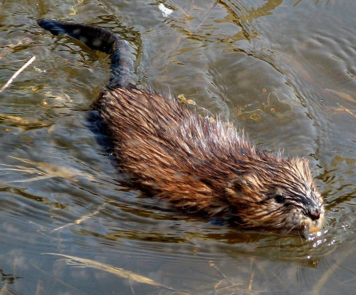 Muskrat Removal Services